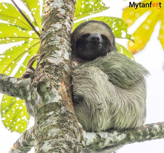 Sloth on Bogarin Trail