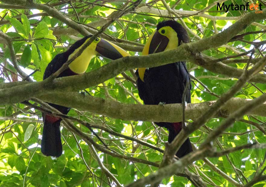 Toucans on Bogarin Trail