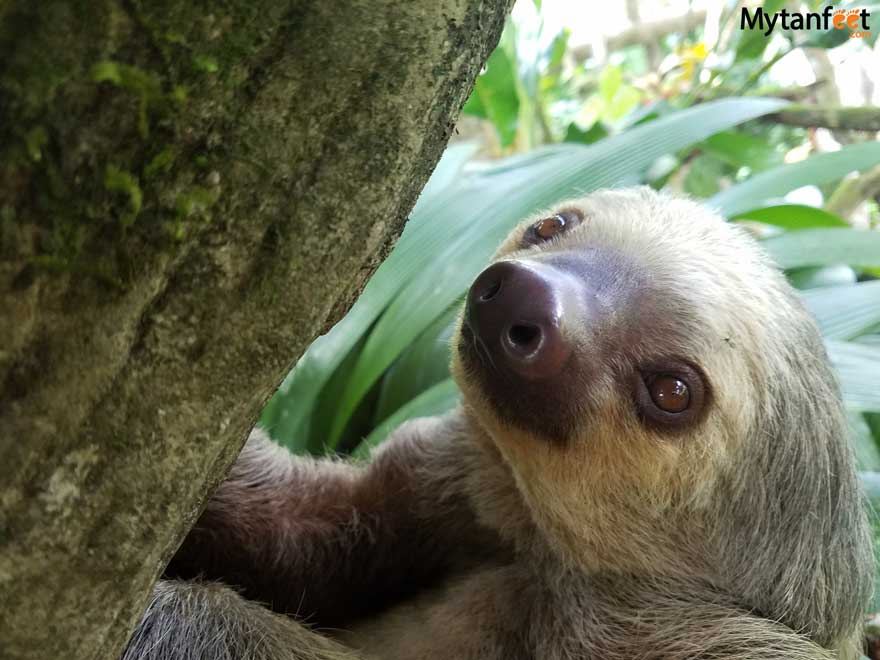 Costa Rica questions and answers - sloths