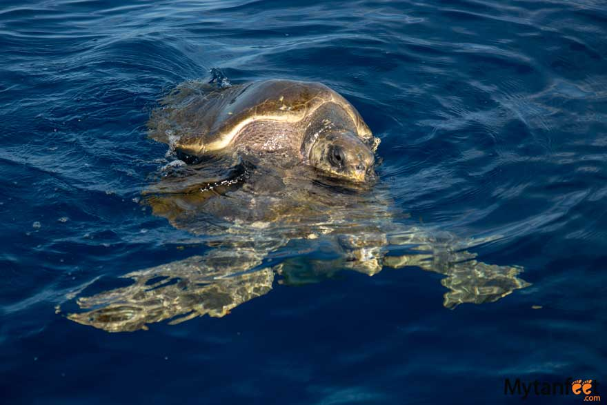 Sea turtles in Costa Rica - Gulf of Papagayo