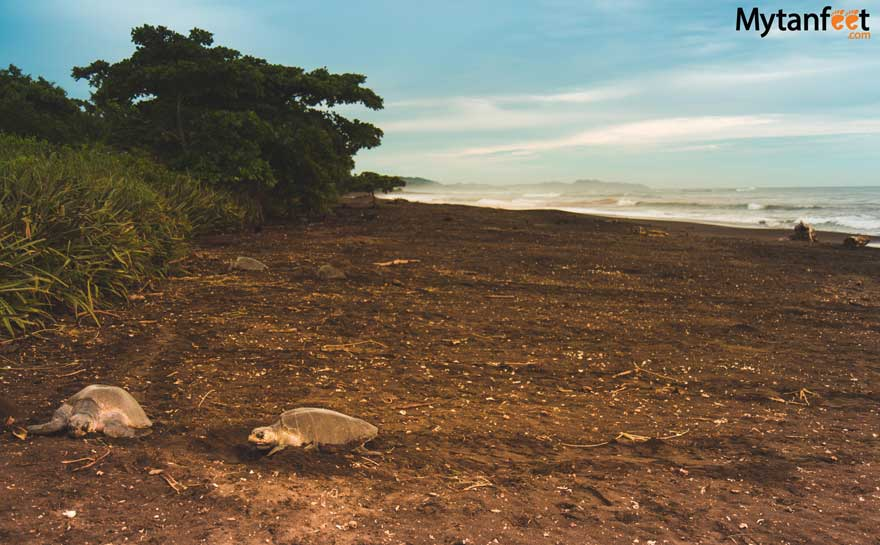 Sea turtles in Costa Rica - Ostional