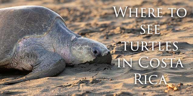 Sea turtles in Costa Rica featured