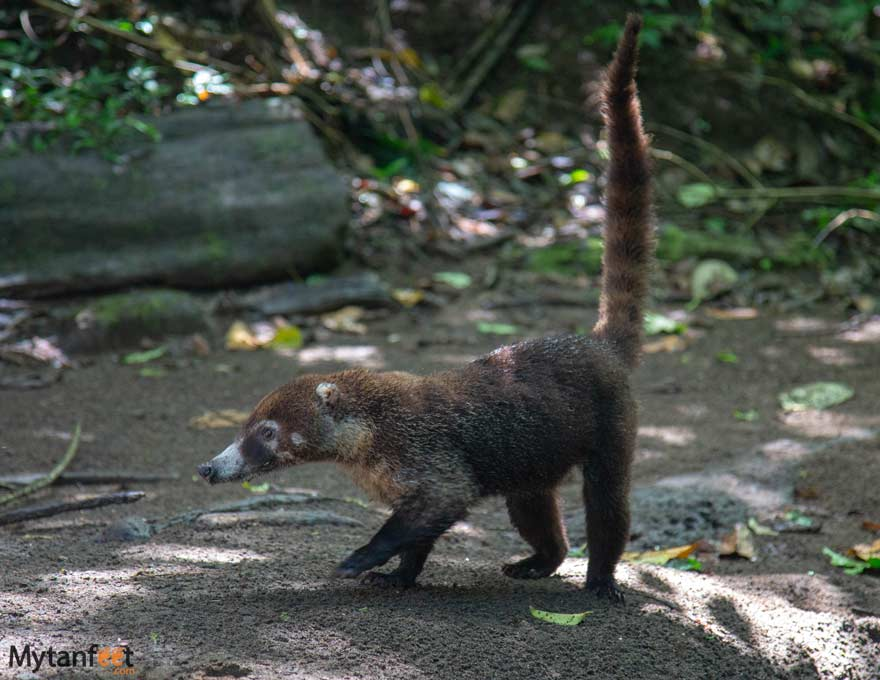 Costa-RIca-wildlife-coati