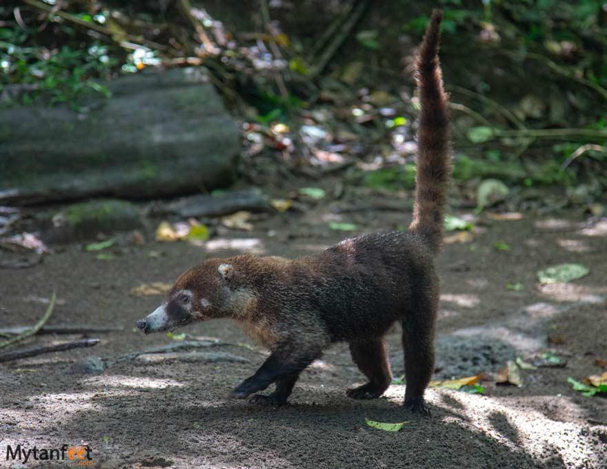 Costa-RIca-wildlife-coati