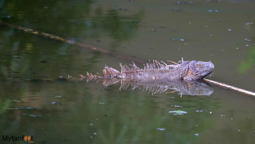 costa rica wildlife iguana