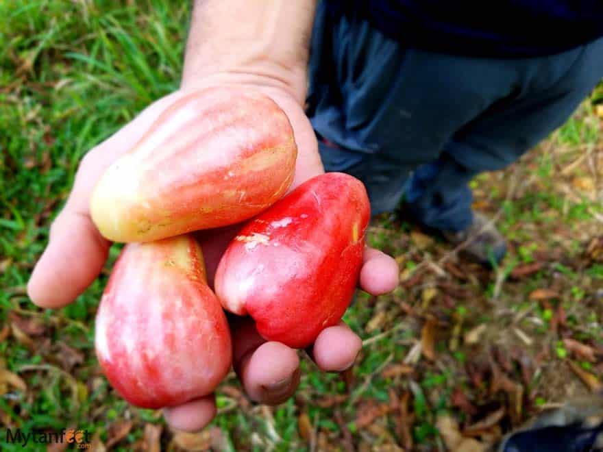 Costa Rica fruit manzana de agua
