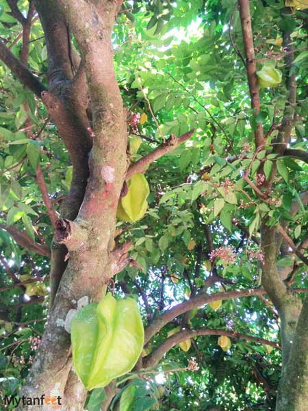Costa Rica fruit - starfruit