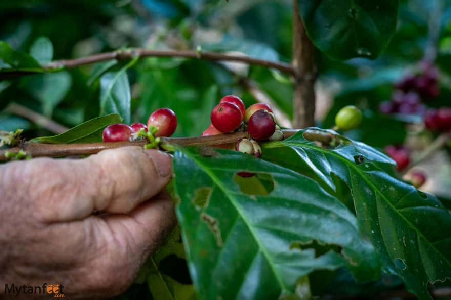 things to do in monteverde coffee tour