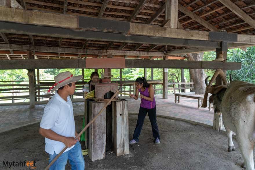 Pressing sugar cane at El Viejo Wetlands