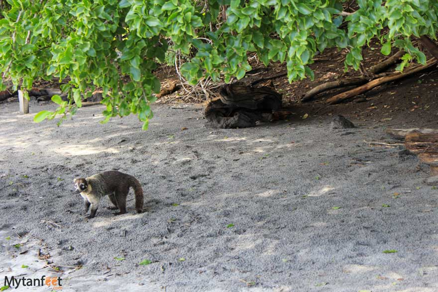 Coati at Playa Huevo beach