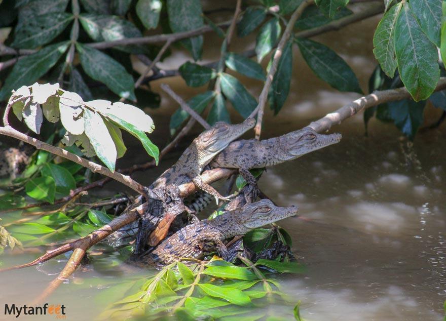 baby crocodiles seen on the El Viejo boat tour