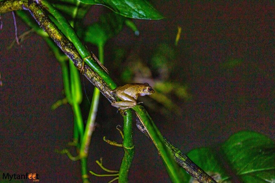 Night Walk Costa Rica Frog