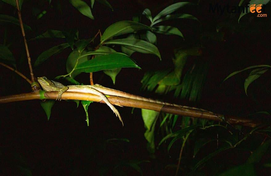 Helmeted Basilisk Costa Rica