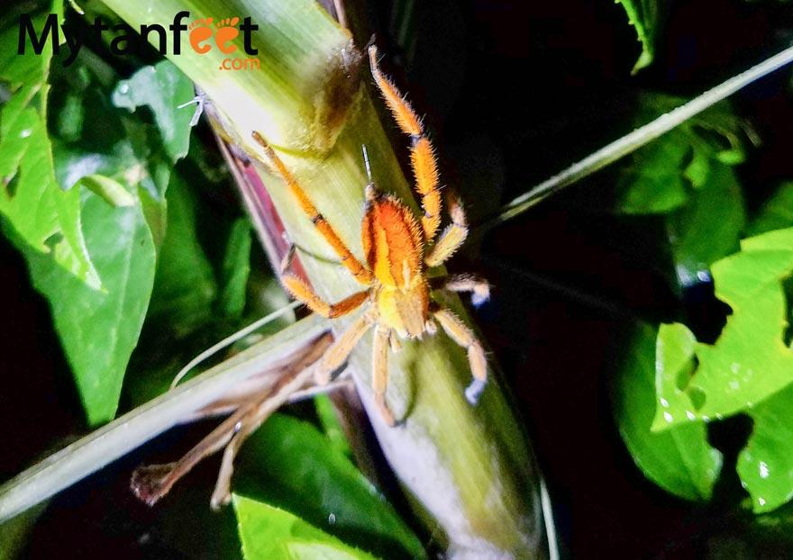 Costa Rica Spider, Arenal NIght walk