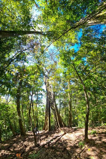 The hollow ficus in Monteverde