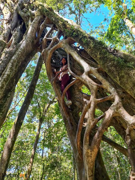 Free places in Monteverde climbing the hollow ficus tree