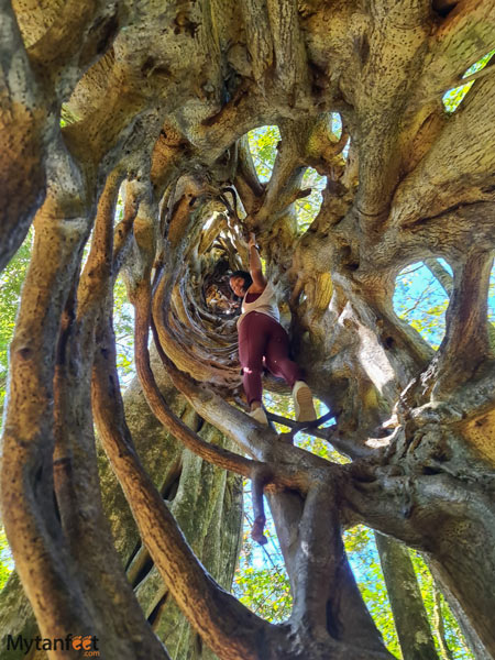 Free places in Monteverde climbing the hollow ficus