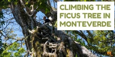 climving the ficus tree in Monteverde featured
