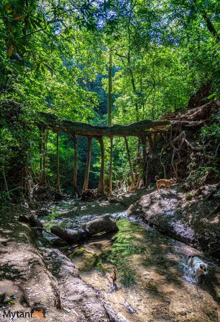 Free places in Monteverde ficus tree root bridge