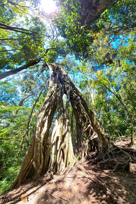 Free places in Monteverde hollow ficus tree