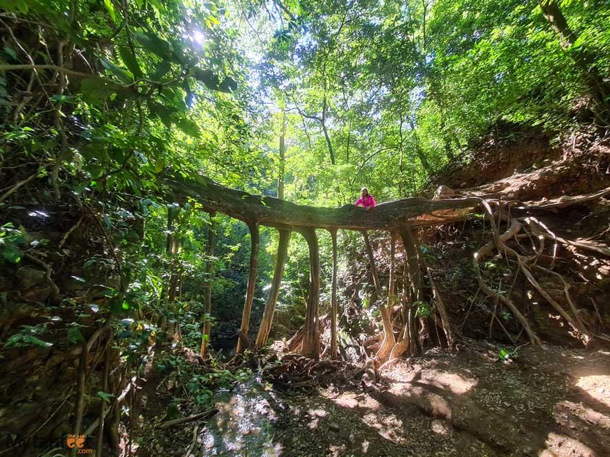Monteverde ficus root bridge