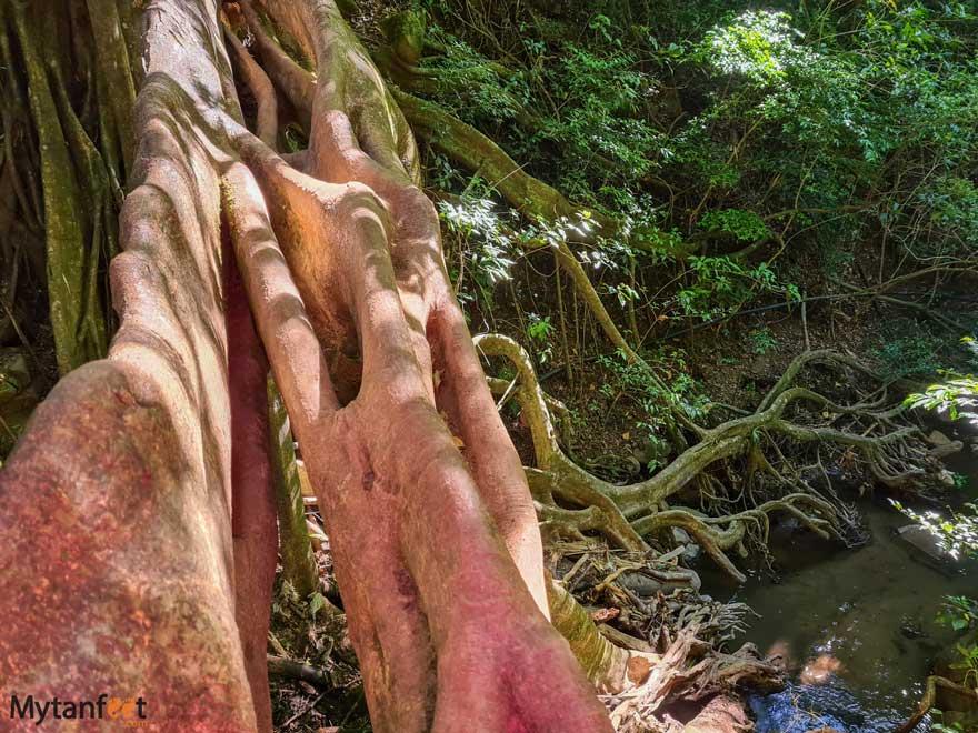 Monteverde ficus root bridge view from the top