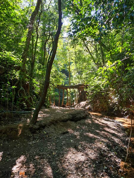 monteverde ficus root bridge path