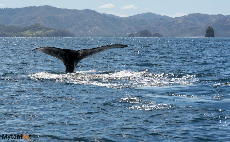 humpback whale Costa Rica in Gulf of Papagayo - costa rica whale watching tours