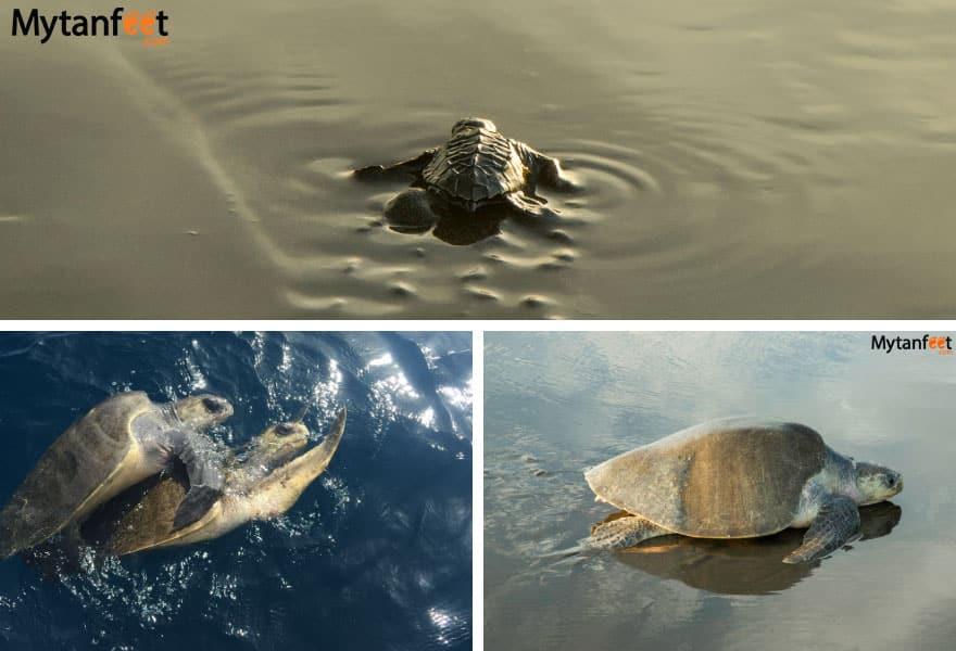 Costa Rica turtles