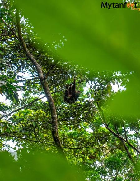 2 fingered sloth