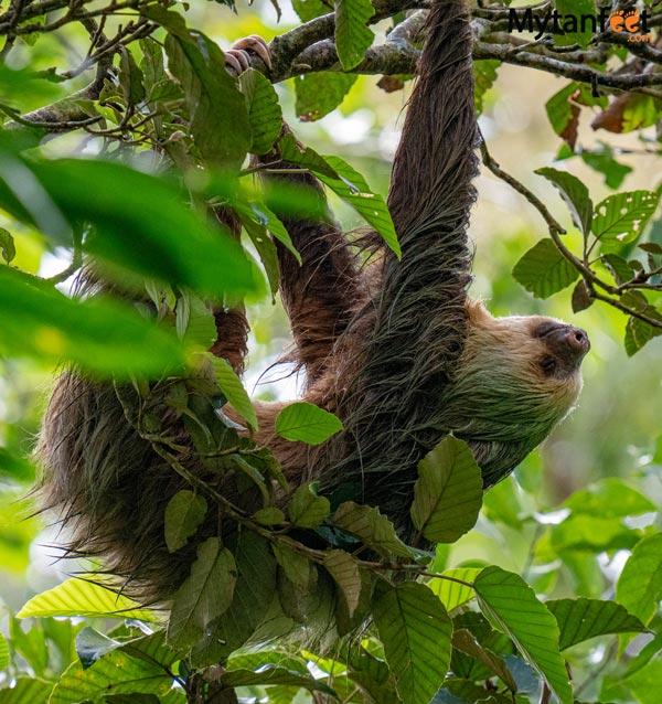 Guanacaste rainforest sloth tour - 2 toed sloth