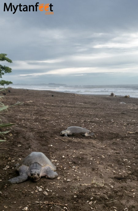 Nosara turtle nesting tours